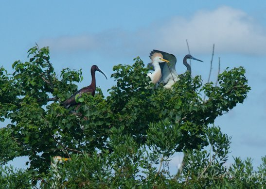 Whitefaces Ibis, Cattle Egret, Tricolored Heron