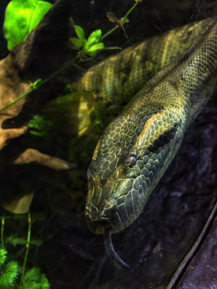 Green anaconda at Dallas World Aquarium