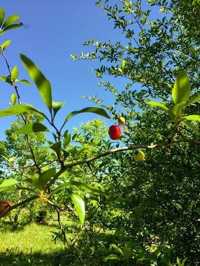 bright red mayhaw berry